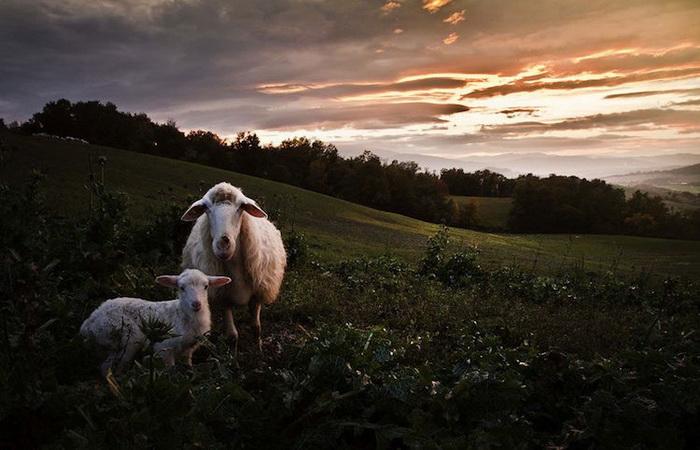 Фотографии Марко Сгарби о жизни среди тосканских холмов и выпасе овец
