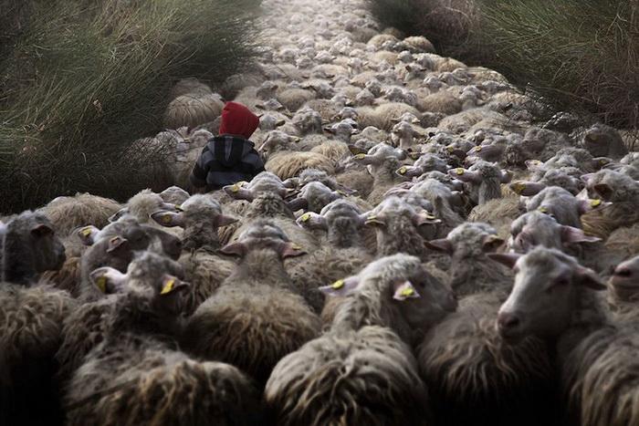 Юный пастух и его отара