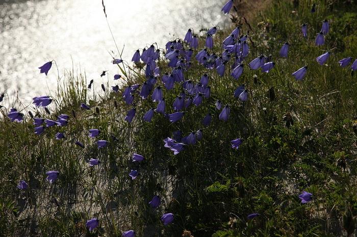 Цветущие колокольчики во время короткого сибирского лета