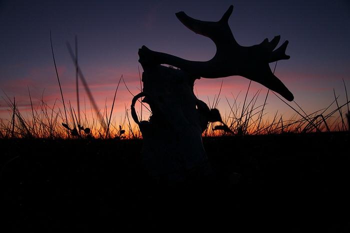Череп оленя, утонувшего в ямальских болотах