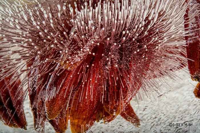Цветы в кубиках льда. Фотопроект от Мо Девлина (Mo Devlin)