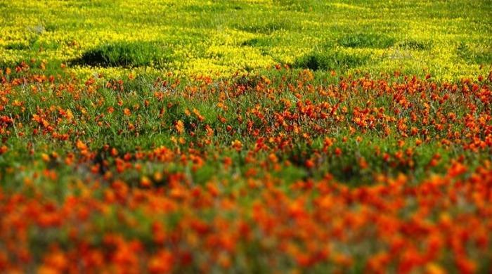 Весенние цветы в Namaqualand