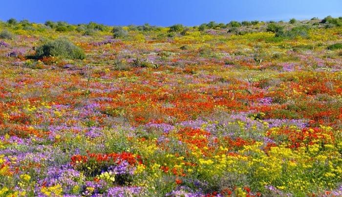 Цветочный рай: ковер из фиалок в Южной Африке