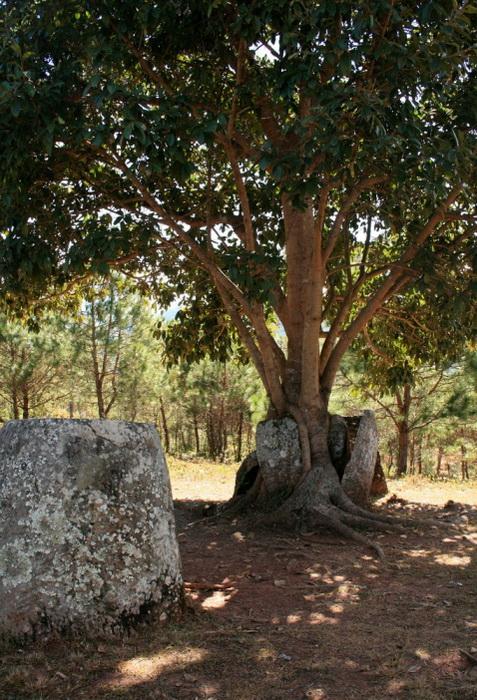 Дерево, выросшее в кувшине