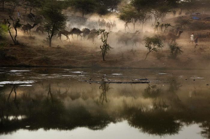 Ярмарка верблюдов в Пушкаре (Индия)