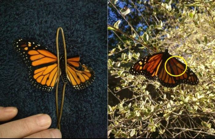 Спасение бабочки с деформированным крылом.