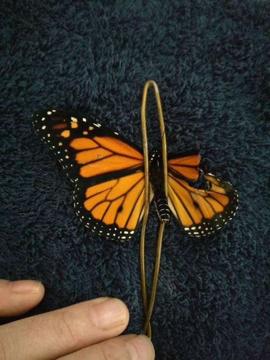 Операция по восстановлению крыла бабочки Монарх.