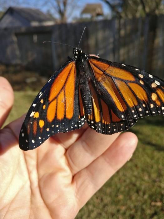 Спасенная бабочка Монарх.