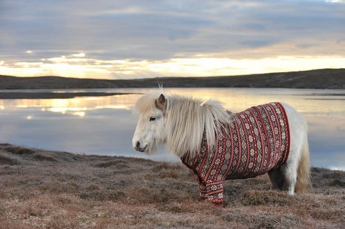Милые пони в шерстяных свитерах - новая визитная карточка Шотландии