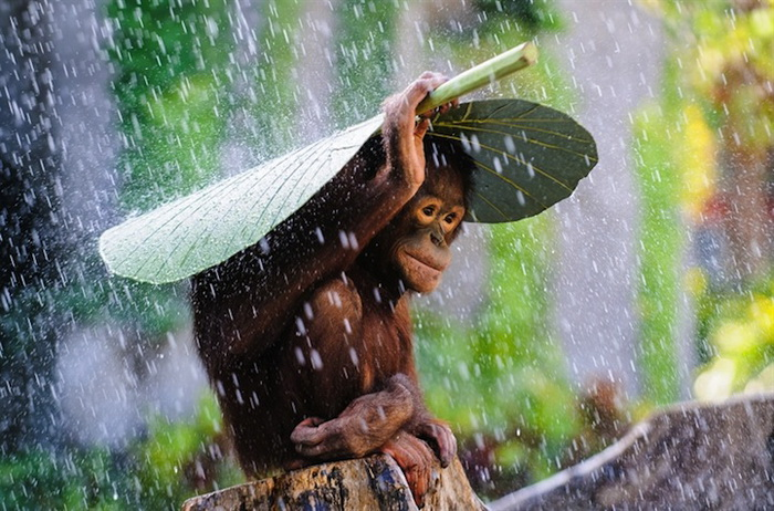 Орангутанг под дождем. Фотограф Andrew Suryono, Индонезия