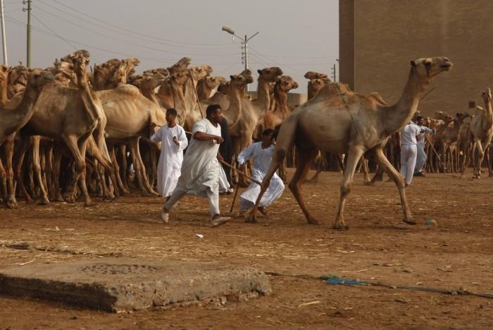 В Биркаше пригоняют сотни верблюдов