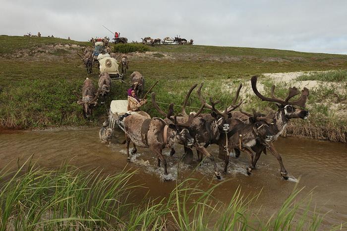 Переезд на оленях
