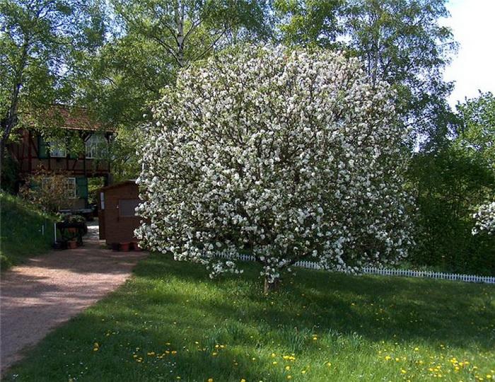 Цветущая яблоня после окончания Пасхи