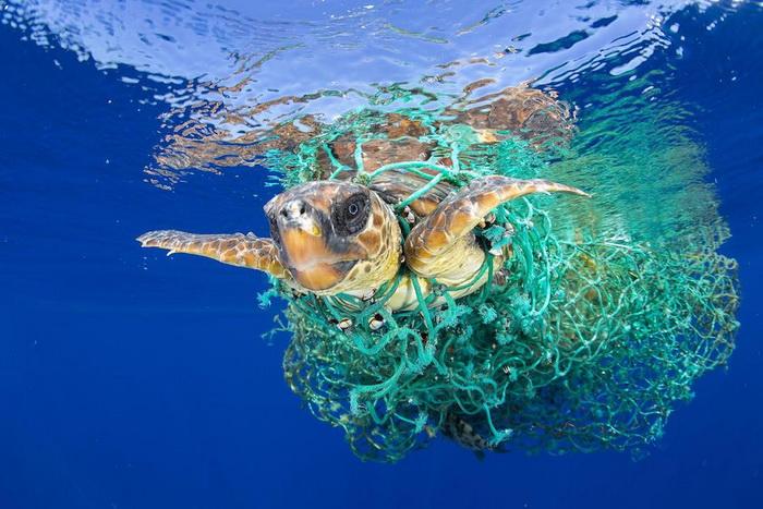 Черепаха запуталась в рыболовной сетке
