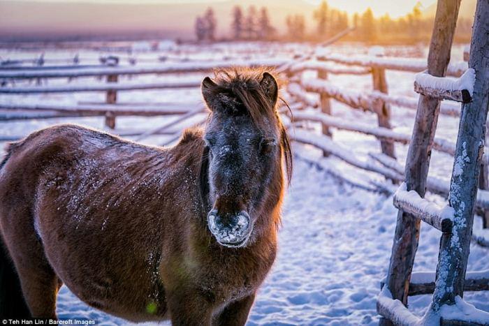 Якутские лошади - источник мяса и молока для жителей республики Саха.