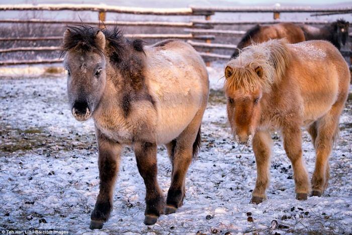 Якутские лошади.