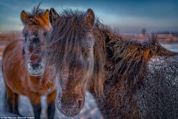 Якутские лошади выживают при экстремально низких температурах.