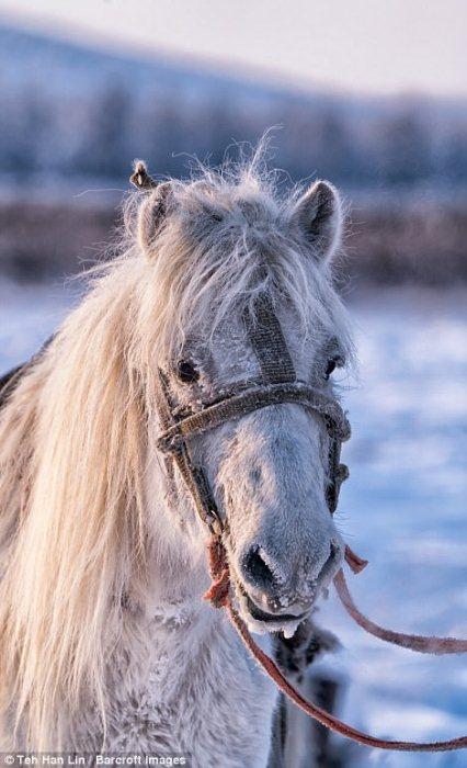 Якутские лошади - животные, которые могут выжить при температуре -60 градусов.