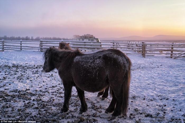 Средний вес якутских лошадей более 200 кг.