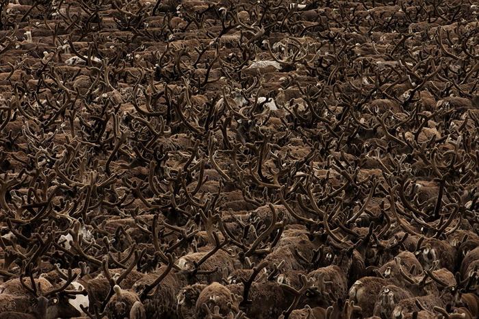 Ежегодная миграция оленей через реку Юрибей