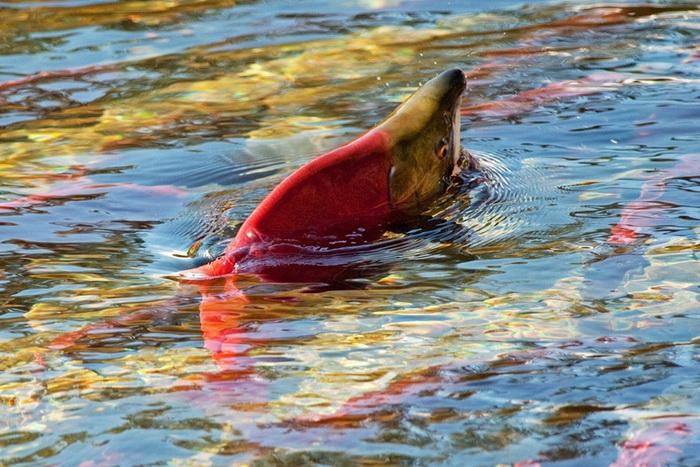 Путь через бурлящие воды реки Томпсон и Каньон Фрейзера рыбы проделывают за 17 дней