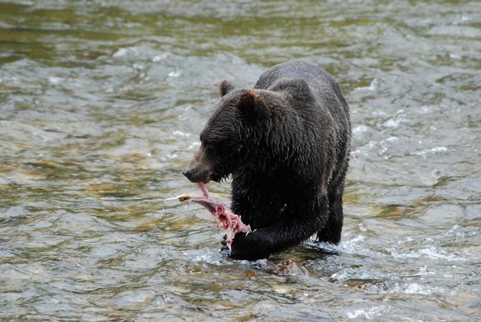 Нереста лосося с нетерпением ждут не только рыболовы, но и медведи