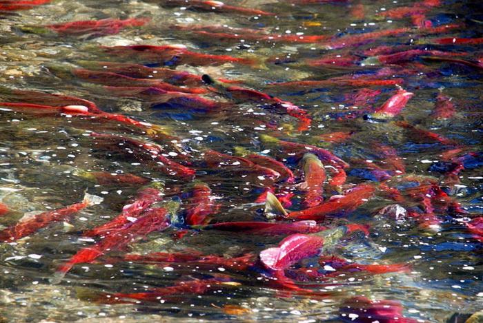 Во время нереста лосося река Адамс наводнена алыми рыбами