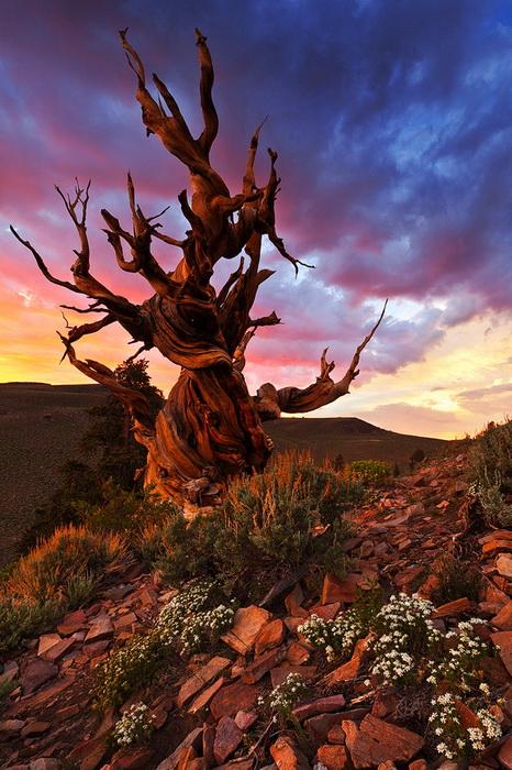 Бристлеконские сосны - старейшие деревья на планете
