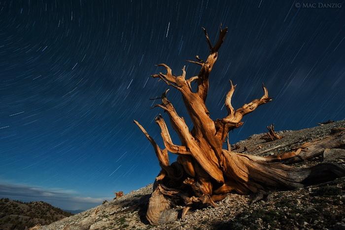 Возраст некоторых бристлеконских сосен превышает 4 000 лет