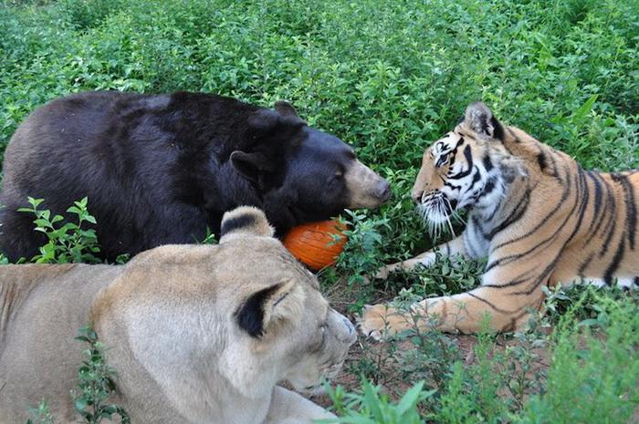 Удивительная дружба медведя, тигра и льва