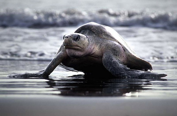 Аррибада: сотни тысяч черепах откладывают яйца на пляже Коста-Рики
