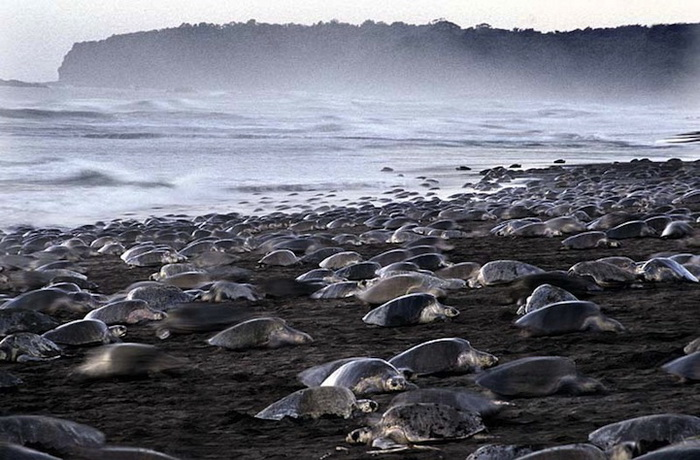 Пляж, усеянный черепахами
