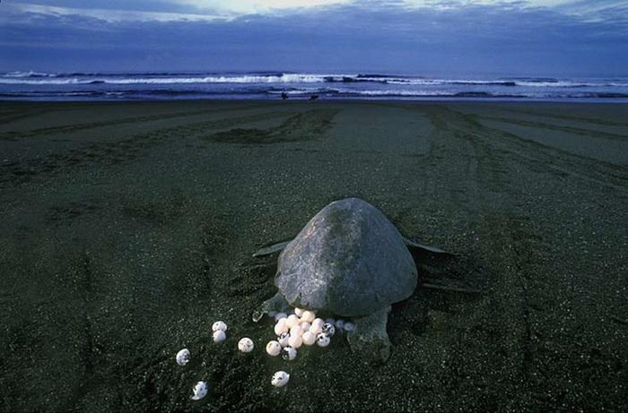 Всего каждая самка откладывает около 80 яииц