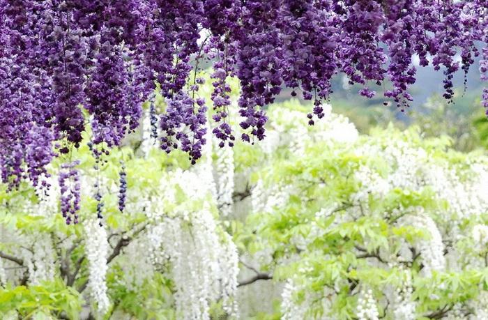 Фиолетовые и белые глицинии в японском цветочном парке Асикага