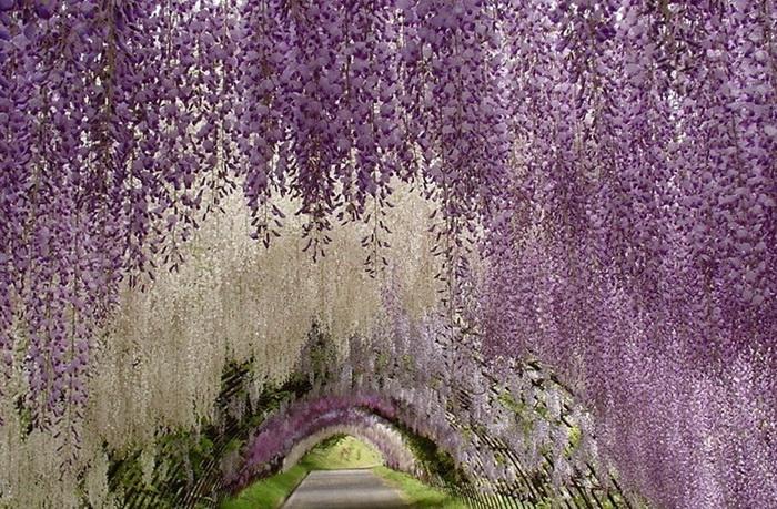 Японский цветочный парк Асикага: тоннель из глициний