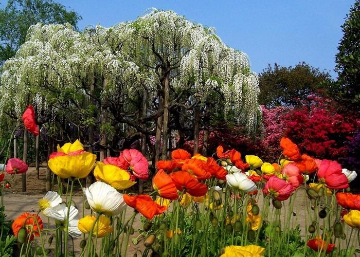 В японском парке Асикага множество разнообразных цветов