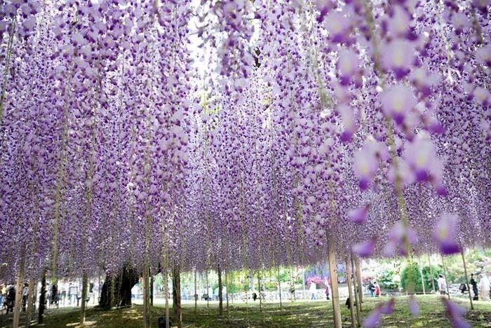 Глициниевый рай в японском парке Асикага