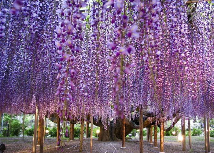 Вековое дерево fuji образует своеобразный «зонт» из своих соцветий