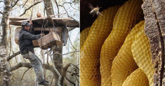 Бортники - пчеловоды, которые продолжают древний промысел.