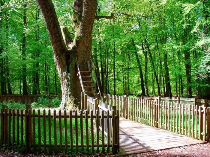 К дуплу поднимается деревянная лестница