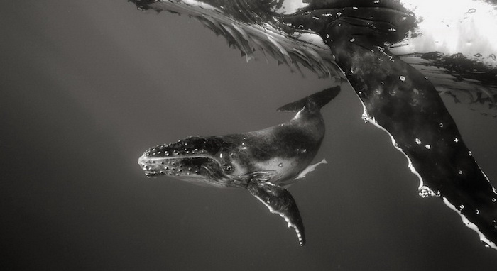 Фотографии китов в натуральную величину от Брайана Остина