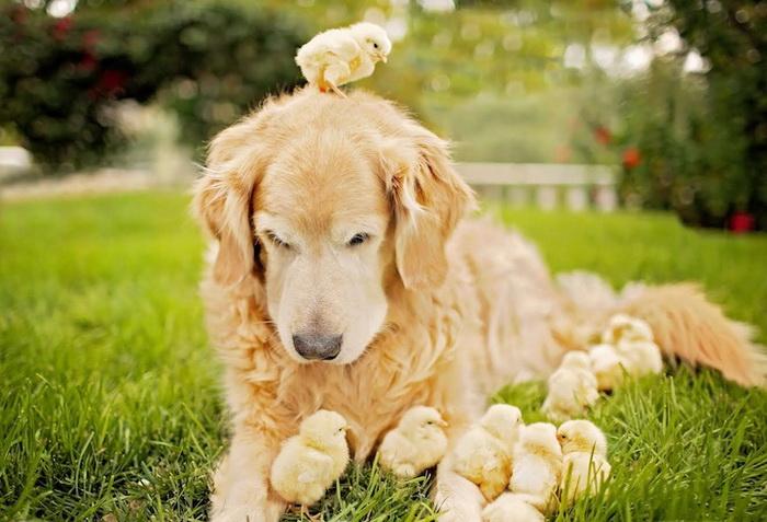 Золотистый ретривер и цыплята: умилительная фотосессия