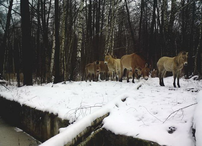 Лошади Пржевальского зимой.