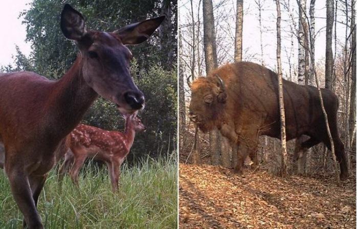 Что происходит с животными в Чернобыльской зоне.