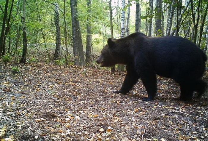 Медведи не обитали в этих лесах уже почти столетие, теперь они возвращаются.