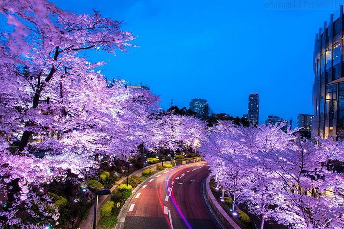 Розовая сакура и розовая магистраль. Фотограф Masayuki Yamashita