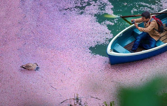Когда опадает сакура. Фотограф  Danilo Dungo