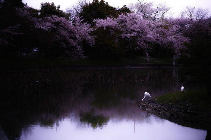 Грезы японской вишни. Фотограф S. Ohtani