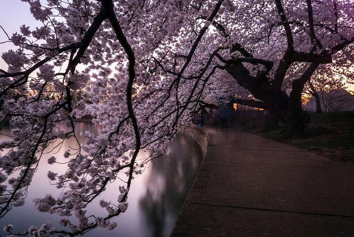 Тоннель из вишневого цвета. Фотограф Jessie Meyer