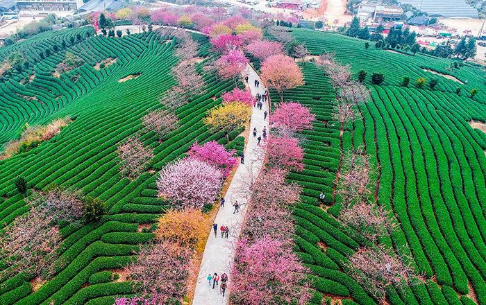 Сакуры в провинции Фуцзянь, Китай.